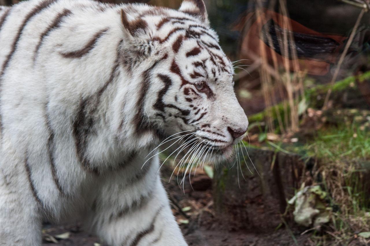 animals tiger coloration disruptive really animal tigers stunning