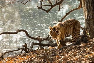 Tiger Is Walking Along A Lake