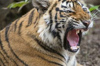 Roaring Bengal Tiger Wildlife Shot