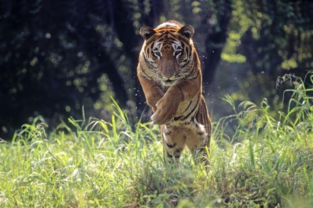 Royal Bengal Tiger Jumping