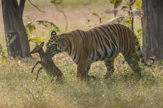 Tiger With Deer