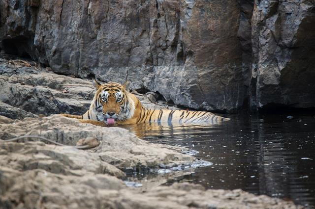 Bengal Tiger Drinking Water