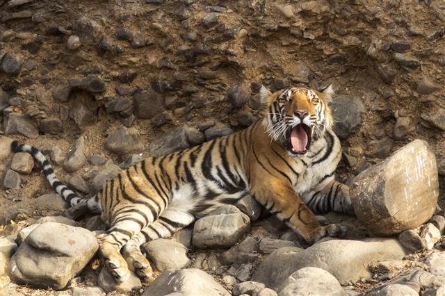 Bengal Tiger At National Park