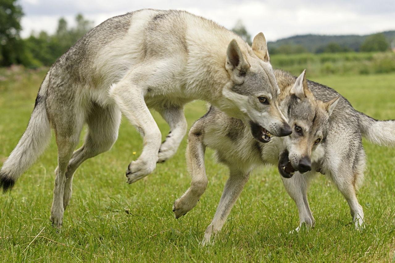 Wolf Like Dog With Blue Eyes