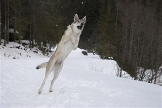 Wolfdog Catches Snowball