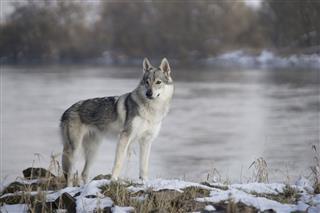 Wolfdog Stands