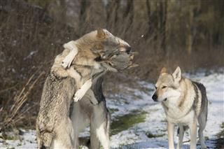 Playful Wolfdogs