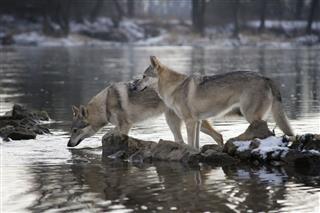 Playful Wolfdogs Standing