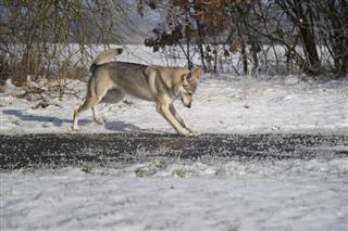 Playing Wolfdog