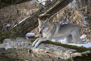 Wolfdog In Winter Landscape