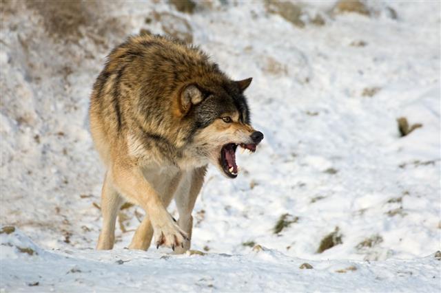 Wolf Agression