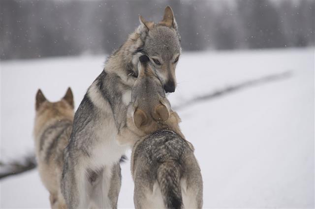 Wolfdog Sisters