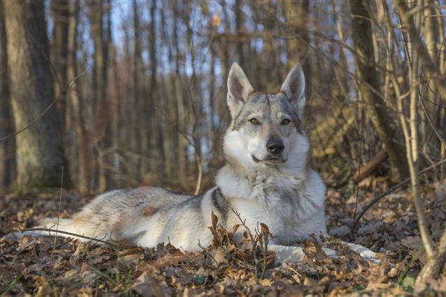 Wolf Dog Resting