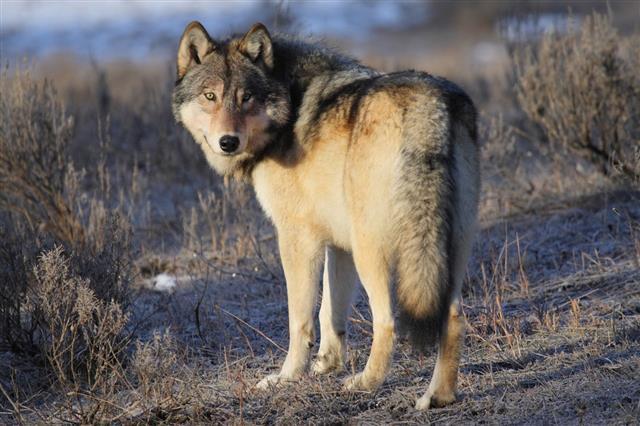 Gray Wolf In Yellow Stone