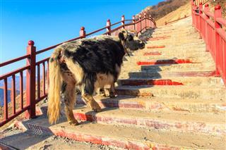 Yak Walk Up On Stairway