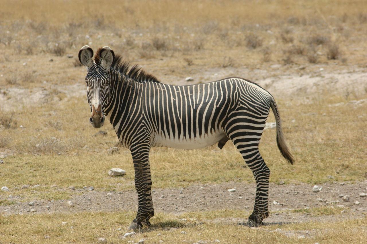 Zebra Adaptations