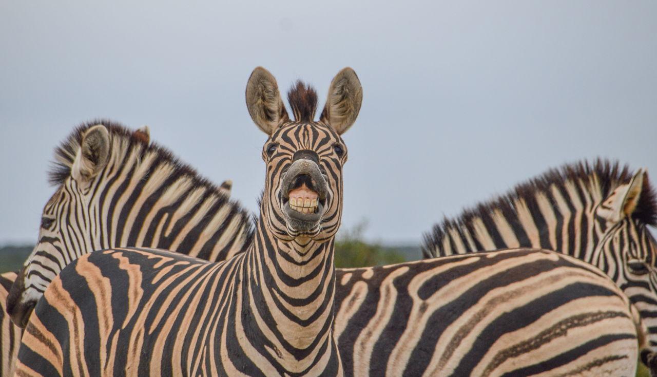 Zebra Adaptations | 1280 x 734 jpeg 126kB