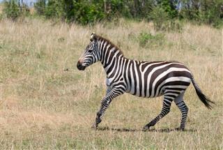 Running Zebra Masai Mara Kenya