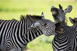 Zebras Socialising