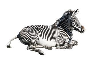 Grevys Zebra Resting Cutout