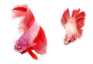 Siamese Fighting Betta Fish