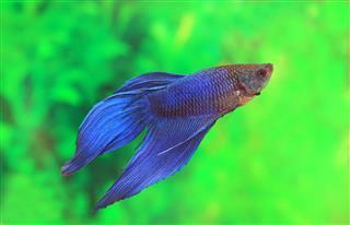 Male Of Betta Fish Splendens