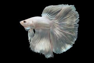 White Halfmoon Betta Fish
