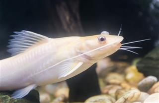 Bristlenose Pleco Catfish