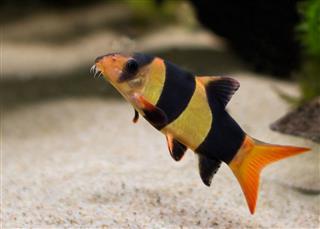 Clown Loach Tiger Botia Catfish