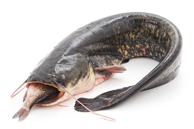 Wild Catfish
