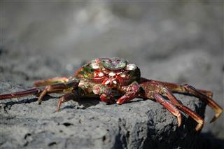 Dry Dead Crab