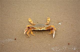 Last Crab Standing