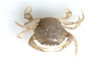 Krabbe Crab