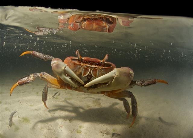 Crab Underwater At Night