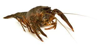 Live Crayfish Closeup