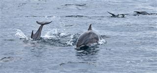 Spinner Dolphins Sri Lanka