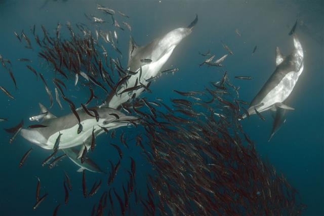 Dolphins Sardines