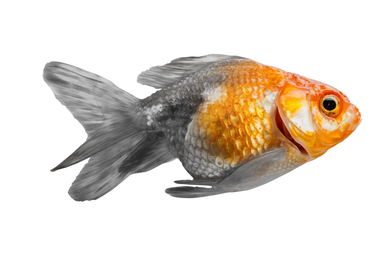 Marvelously Interesting Facts about Goldfish - Pet Ponder