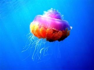 Colouful Jellyfish