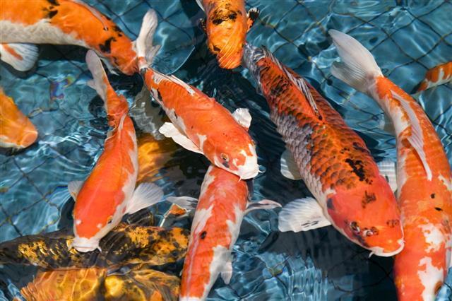 outdoor-koi fish