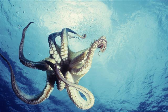 Lone Octopus Dancing Underwater