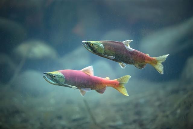 Kokanee Salmon Underwater