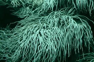 Sea Anemone Tentacles