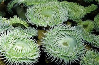 Anemones In Green