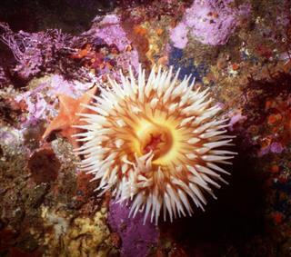 Fish Eating Sea Anemone