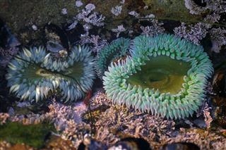 Fauna Sea Anemone