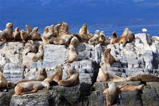 Sea Lions On Island