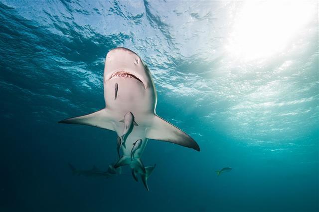 Lemon Shark Swimming