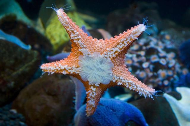 Starfish Glow