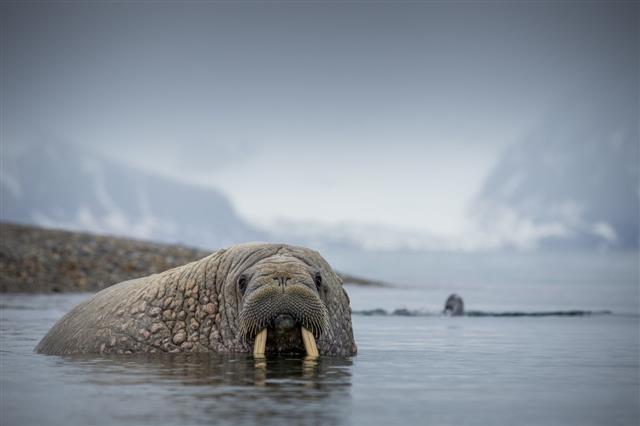 Walrus Mammal In Svalbard